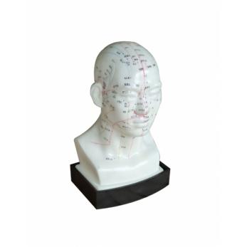 Modello testa